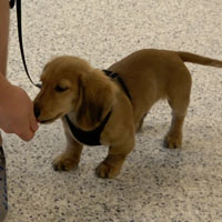 Dachshund in Dog Training