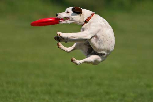 Dog Frisbee Training Classes in Chicago