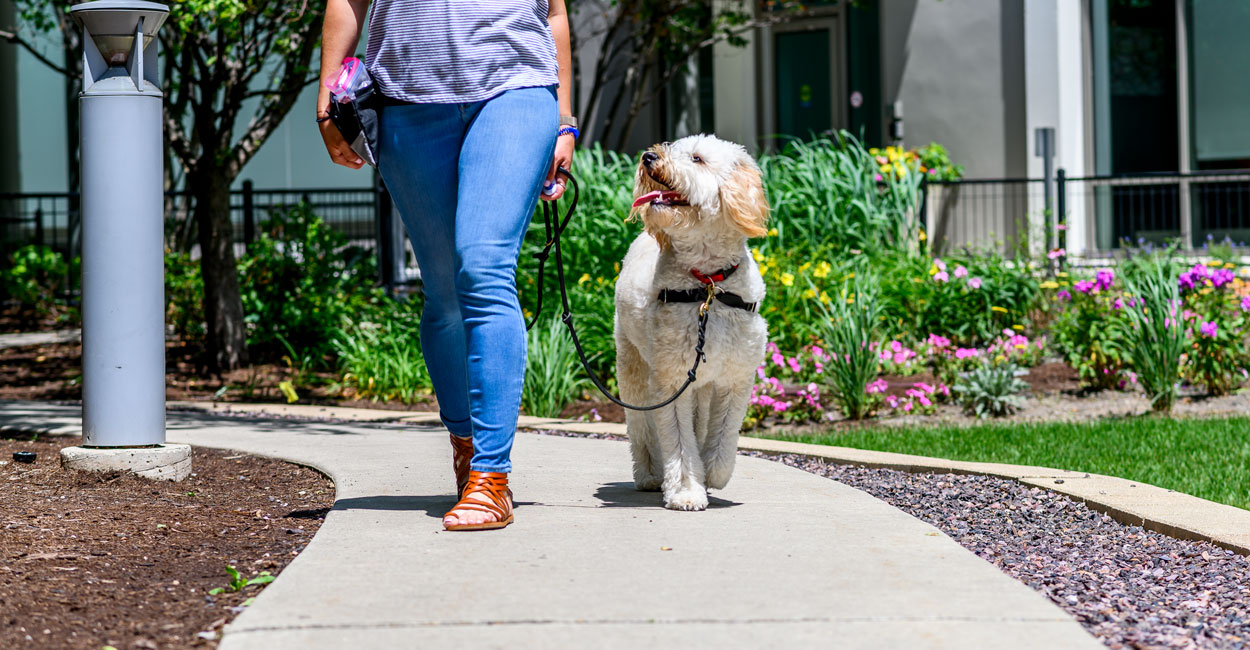Dog Leash Walking Training in Chicago