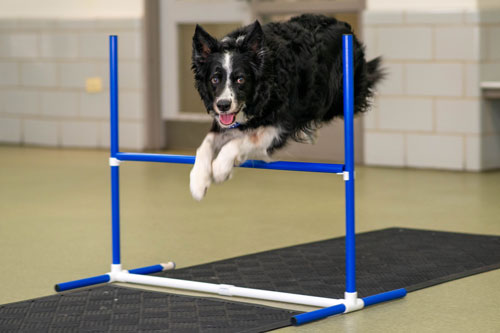 Agility Dog Training Classes in Chicago
