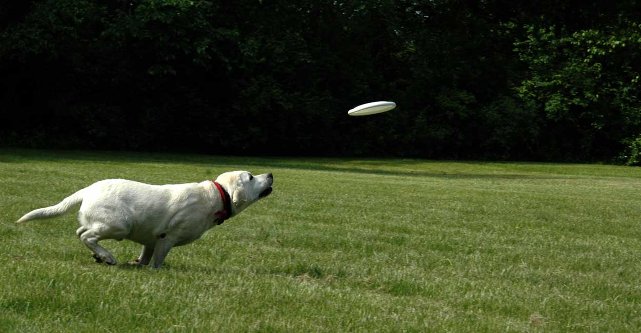 Lab Chasing Frisbee